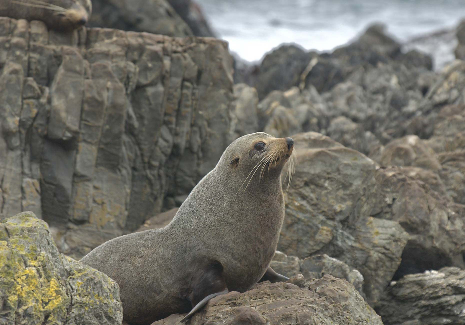 TRA_PhotoReporters_fur-seal-at-Kaikoura_NZ